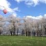 桜満開の本丸庭園