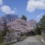 西不明門の桜