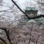 桜満開の西の丸広場からの天守閣