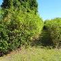 矢竹の群生