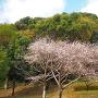 帯曲輪地区に咲く四季桜