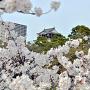 桜なら邪魔でも許せる(2013年3月30日撮影)