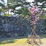 蜂須賀桜の里帰り苗木と、武具櫓跡石垣