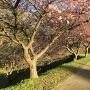 2の曲輪の空掘と桜