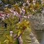 河津桜と天守台