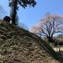 土塁に咲くカタクリの花と氏邦桜