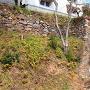 樅の丸南面から繋がる石垣