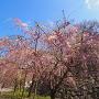 枝垂れ桜と石垣