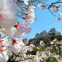 城郭遠景 桜の額装