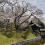 楼門(山門) と 桜