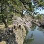 龍城堀の石垣と桜
