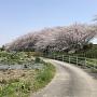 大島堤の桜並木