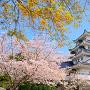 モミジ若葉と桜に模擬天守