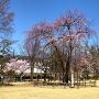 清正公駒つなぎの桜