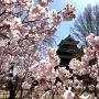 桜から天守