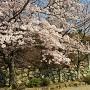本丸跡石垣と桜