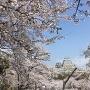 三の丸から桜と天守