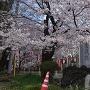 垂れかかる桜
