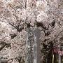 桜と城趾碑