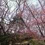 本丸の桜と土塁