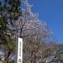 三の丸外囲の桜