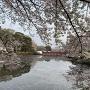 桜満開の城址