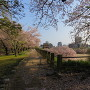 祈念櫓と桜