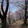 土塁の上の桜
