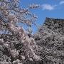 高石垣と桜。