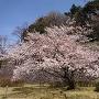 石垣回廊の桜