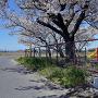 城跡碑と桜