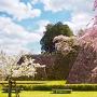 石垣と三種の桜