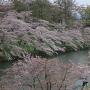 桜並木(上越市歴史博物館屋上から)