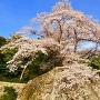 桜と大手門石垣