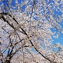 臨時駐車場脇の桜