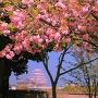 埋門からの姫路城と八重桜