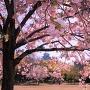 県立歴史博物館東側の八重桜