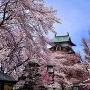 桜満開高島城