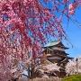 枝垂れ桜と天守