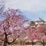桜咲く城址