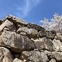 桜と矢穴(大手門石垣)