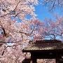 桜と問屋門