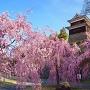枝垂れ桜と南櫓