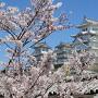 姫路城春恋人花桜