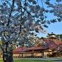 箱館奉行所と桜