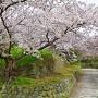 御番所跡石垣と桜