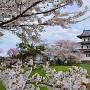 天守と桜(本丸表御殿跡より)