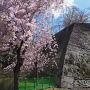 高石垣と枝垂桜