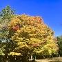 大広間の紅葉