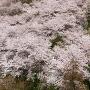 天守台からの桜